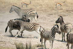 Fighting Zebras Stock Photos