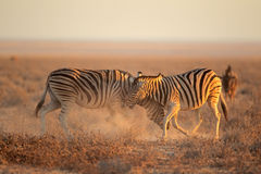 Fighting Zebras Stock Photography