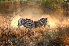 Fighting Zebras Royalty Free Stock Photos