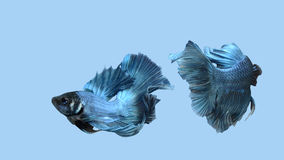 Fightingfish 图库摄影