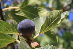 figi czarny drzewo Obrazy Stock