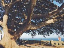Figi drzewa nadwieszenie obraz stock