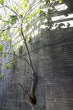 Figi drzewa roślina r z betonowej ściany przez drainpipe ho Zdjęcie Stock