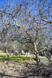 Figi drzewo Zdjęcie Royalty Free