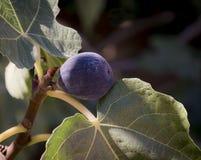 Figi drzewo obraz royalty free
