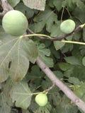 Figi drzewo Obrazy Royalty Free