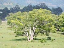 Figi drzewo Zdjęcie Stock