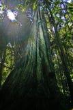 figi drzewo Obraz Stock