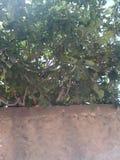 Figi drzewo Fotografia Stock