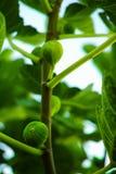 Figi na drzewie Fotografia Royalty Free