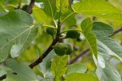 Figi na drzewie Zdjęcie Stock