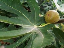 Figi na figi drzewie Zdjęcia Stock