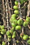 Figi owoc. Obraz Stock