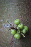 figi zielenieją drzewa Obraz Royalty Free