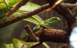 Figian结合了鬣鳞蜥Brachylophus bulabula 免版税库存照片
