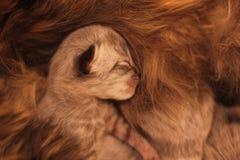 Figlarka był ostatnio urodzona i śpi obok macierzystego kota obrazy stock