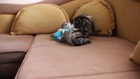 Figlarka fałdu Szkoccy koty bawić się Szkockiego fałd i Szkocki prostego zdjęcie wideo