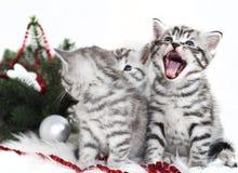 Figlarka krzyczy meow Zdjęcie Royalty Free