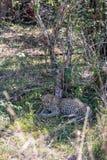 Figlarka lampart odpoczywa w cieniu drzewo Kenja, Afryka Zdjęcie Royalty Free