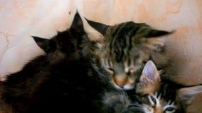 Figlarki, dużego kota buziaki i Lizać wpólnie zbiory wideo