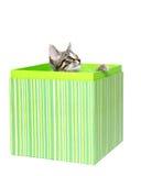 figlarki pudełkowaty śliczny tabby Fotografia Royalty Free