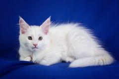 Figlarki zwierzęcia domowego kot Zdjęcia Royalty Free