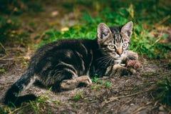 Figlarnie Ślicznego Tabby kota figlarki Szary Pussycat zdjęcia stock