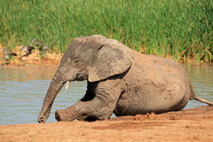 Figlarnie Afrykański słoń Obraz Stock