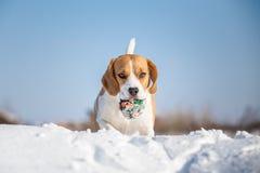 Figlarnie Beagle pies Fotografia Royalty Free