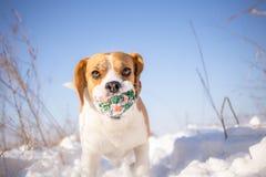 Figlarnie Beagle pies Zdjęcie Royalty Free