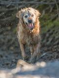 Figlarnie golden retriever Fotografia Stock