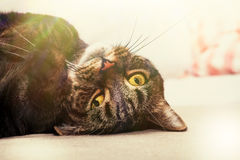 Figlarnie kot, piękny domowy zwierzę domowe Obrazy Royalty Free