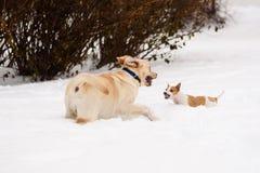 Figlarnie Labrador Retriever szczeniak spotyka agresywnego Jack Russell Terrier psa Zdjęcia Royalty Free