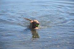 Figlarnie Mały Rzeczny kaczka pies w wodzie Zdjęcia Stock