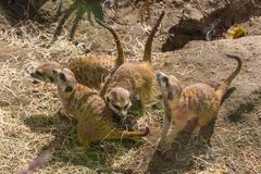 Figlarnie meerkats Zdjęcie Royalty Free