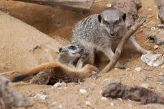 Figlarnie meerkats Fotografia Royalty Free