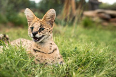 Figlarnie młody kot Obraz Royalty Free