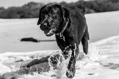 Figlarnie mokry czarny labradora bieg i bawić się na plaży na letnim dniu obraz royalty free