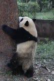 Figlarnie pandy lisiątko w Chengdu pandy bazie, Chiny Obraz Royalty Free