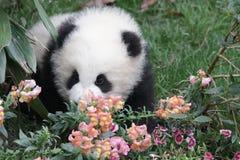 Figlarnie pandy lisiątko w Chengdu pandy bazie, Chiny Zdjęcia Royalty Free