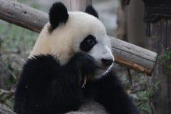 Figlarnie pandy lisiątko w Chengdu pandy bazie, Chiny Zdjęcie Stock