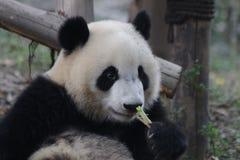 Figlarnie pandy lisiątko w Chengdu pandy bazie, Chiny Obraz Stock