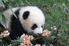 Figlarnie pandy lisiątko w Chengdu pandy bazie, Chiny Zdjęcia Stock