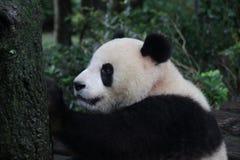 Figlarnie pandy lisiątko w Chengdu pandy bazie, Chiny Obrazy Stock