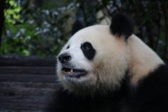 Figlarnie pandy lisiątko w Chengdu pandy bazie, Chiny Zdjęcie Royalty Free