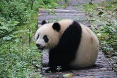 Figlarnie pandy lisiątko w Dujiangyan pandy bazie, Chiny Zdjęcie Royalty Free