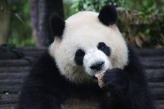 Figlarnie pandy lisiątko w Dujiangyan pandy bazie, Chiny Fotografia Royalty Free