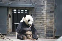 Figlarnie pandy lisiątko w Dujiangyan pandy bazie, Chiny Obraz Royalty Free