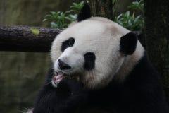 Figlarnie pandy lisiątko w Dujiangyan pandy bazie, Chiny Zdjęcia Stock