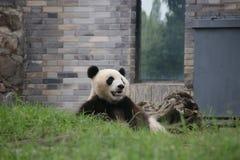 Figlarnie pandy lisiątko w Dujiangyan pandy bazie, Chiny Obraz Stock